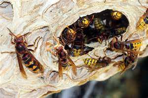 wespen im haus hornissen friedliche brummer nabu
