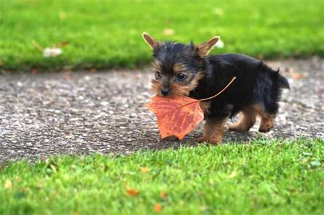 sneezing yorkie 10 tiny facts about terriers mental floss