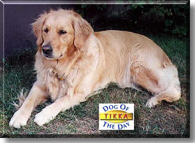 golden retriever new brunswick tikka golden retriever august 5 1999