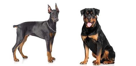 compare rottweiler and doberman raza doberman