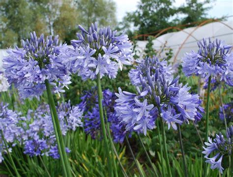 Agapanthus Biru cara menanam dan merawat bunga agapanthus agar cepat berbunga bibitbunga