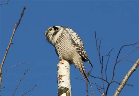 Lv Owl Phone norther hawk owl in quot adazi quot 29 10 2015 putni ādažos