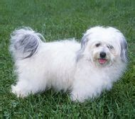 havanese span 1000 images about havanese hair styles on havanese dogs abyssinian cat