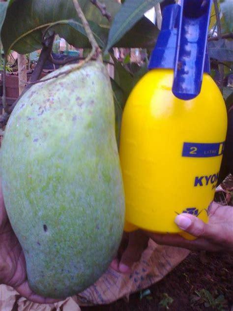 Bibit Mangga Mahatir foto foto mangga mahatir bibit tanaman buah