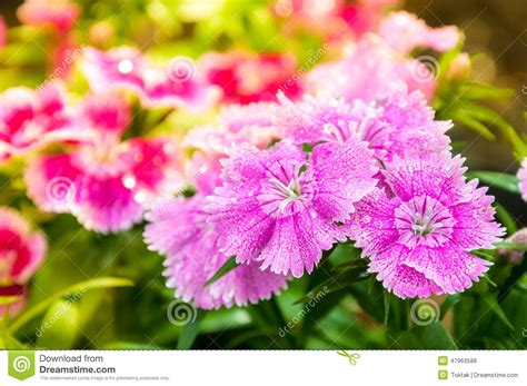 L Flower by China Pink Dianthus Chinensis L Flower Stock Photo