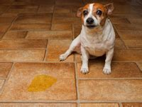 urinary incontinence in dogs urinary incontinence in dogs