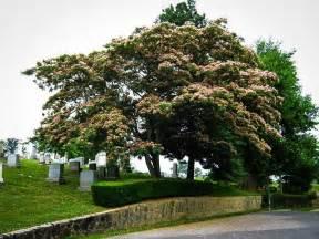 Japanese Flowering Shrubs - mimosa tree for sale online the tree center