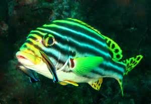 cryptic coloration definition file orientalischer s 252 223 lippfisch jpg wikimedia commons