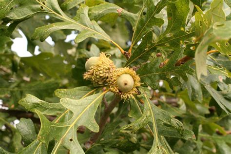 Tree Flowers 2: Bur oak