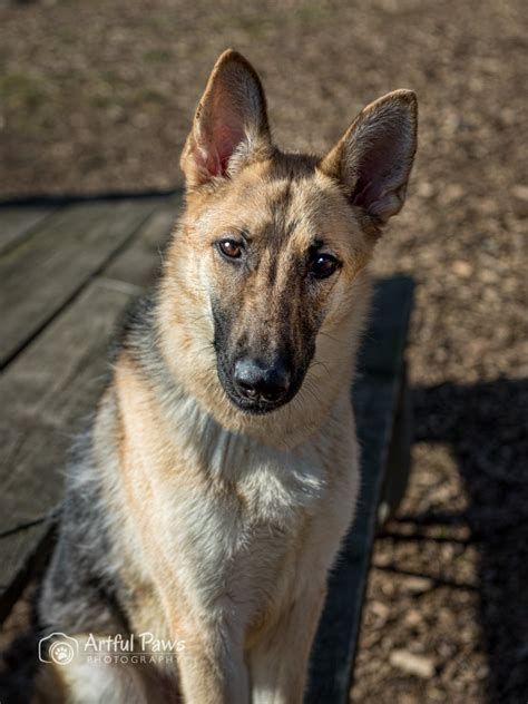adopt a puppy in va sweet and smart rescue pet of the week fairfax va photographer