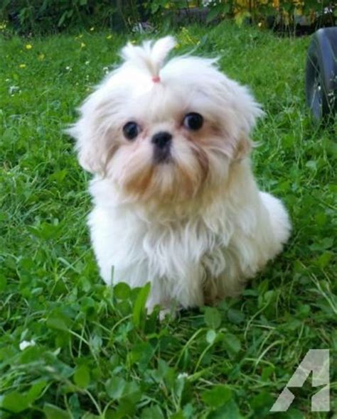 white shih tzu white imperial shih tzu puppy for sale in belfair washington classified