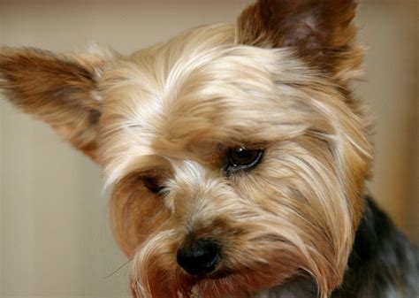 summer cuts for yorkie poos yorkie haircuts image search results breeds picture