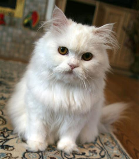 persian cats in orlando my persian kittens persian related keywords suggestions for white persian