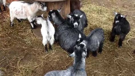Mainan Aninal Farm Babi baby farm animals www pixshark images galleries with a bite
