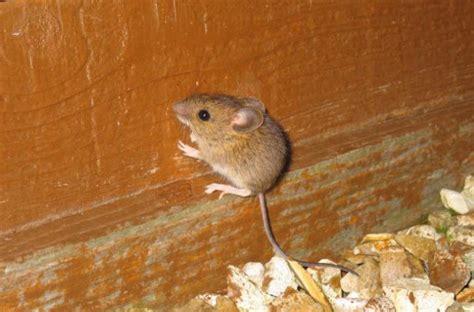 come eliminare i topi dal giardino topi nel tetto in legno pannelli termoisolanti