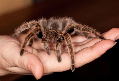 handling and working around a pet tarantula pets4homes