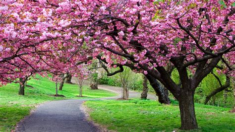 cherry bloosom tree cherry blossom tree care cherry tree pinterest tree care and gardens