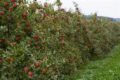fruit tree nursery michigan difference between honeycrisp and fuji erinnudi