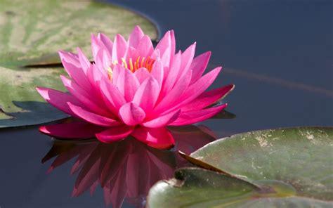 Tanaman Hias Air Apu Apu 5 Pcs 36 macam tanaman hias dan liar yang hidup di air flora