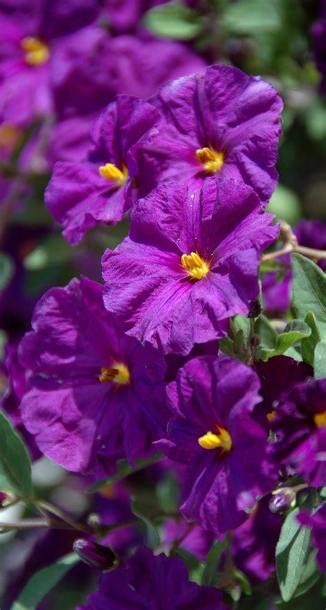 plant with purple flowers 20070606 5369 purple flowers
