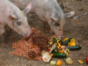 how do pigs have the best digestive systems 100437