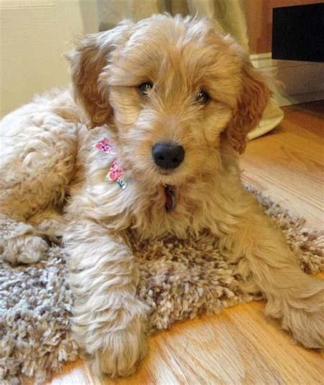 goldendoodle puppy wont stop biting juno the goldendoodle puppies daily puppy