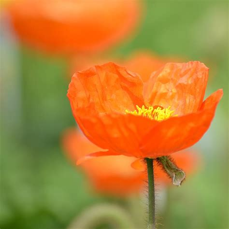flower images orange iceland poppy flower photograph by p s