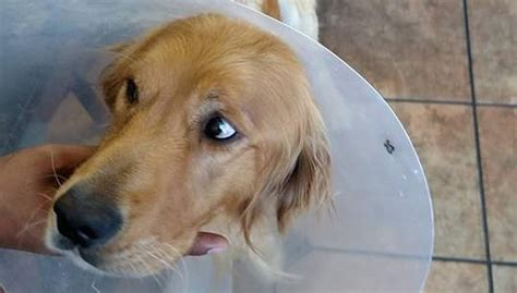 golden retriever rescue montreal saved after sickening act of cruelty won t stop wagging his