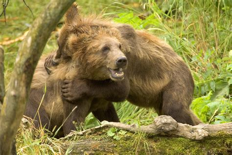 Brown Play file brown cubs jpg wikimedia commons