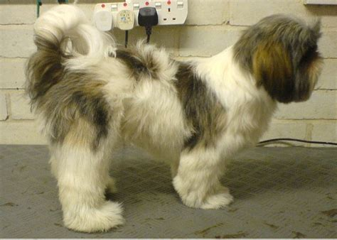 shih tzu haircuts before and after shih tzu haircuts before and after canine pinterest