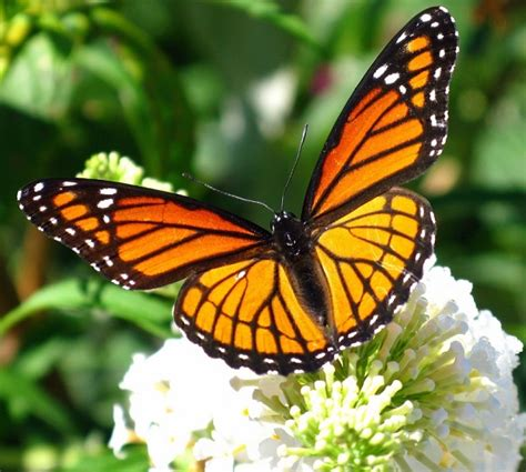 Imagenes De Mariposas De Verdad | image gallery imagenes de una mariposa