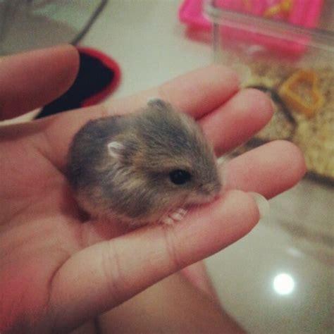 hamsters cute baby