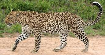 leopard facts history useful information and amazing pictures