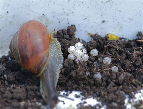 Images Of Snail Eggs