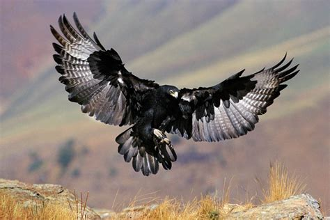 Humm3r Eagle Black With Real Pic photo tip how to freeze a wing huffpost
