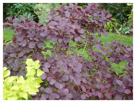 purple leaf shrub with pink flowers shrubs jayne anthony garden design