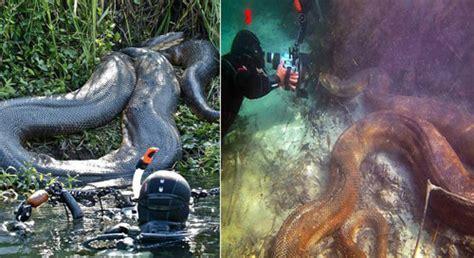 film anaconda yang main di kalimantan foto ular terbesar di dunia yang pernah ditangkap manusia