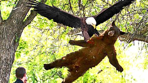 best eagle best eagle attacks world s largest and deadliest what s