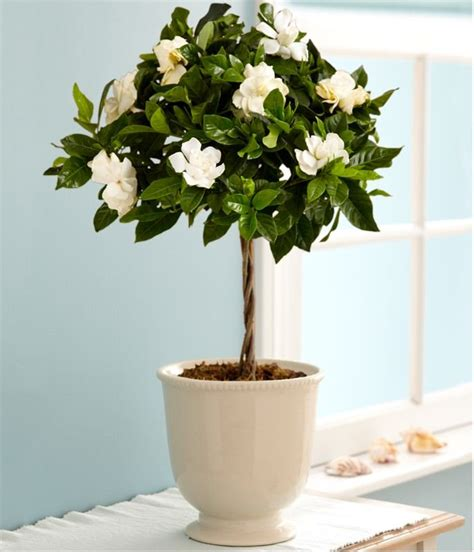 best indoor trees 17 best ideas about potted trees on pinterest trees to