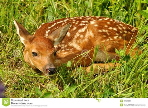 fawn images white tailed deer fawn hiding stock images image 22526004