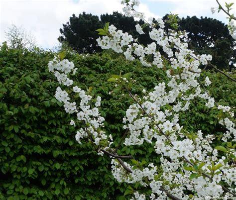 ornamental deciduous trees for small gardens garden designer