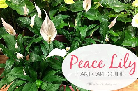 peace lily plant care guide   grow  peace lily