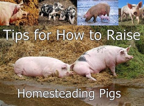 how to raise pigs in your backyard tips for how to raise homesteading pigs homesteading the