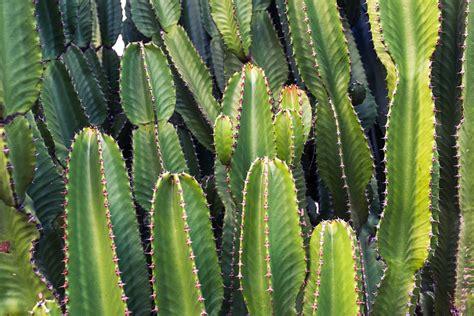 free photo cactus cacti plants green free image on pixabay 923502