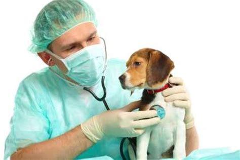 imagenes de medicas veterinarias la importancia de las veterinarias comocriar org