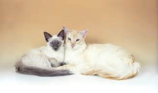 Balinese cat picture online news icon