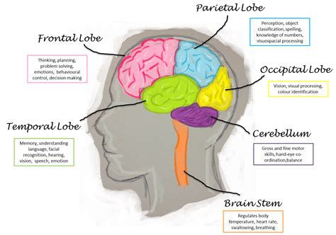 sections and functions of the brain images for gt parts of the brain and their functions
