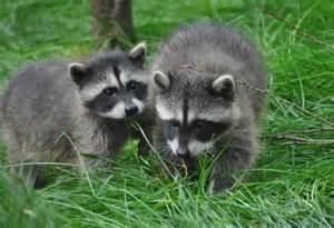 Backyard Wild Animals Nuisance Wildlife The Fur Bearers