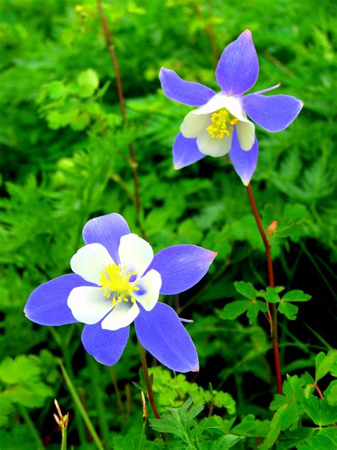 rocky mountain columbine tim morrill photography