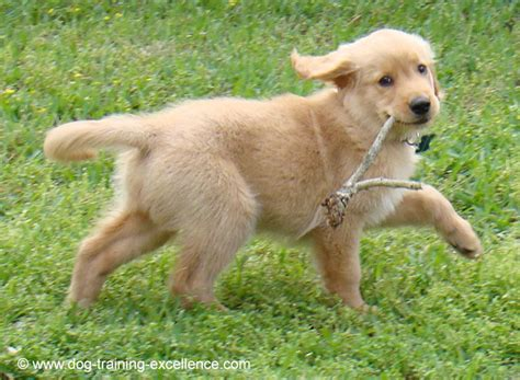 top golden retriever names 400 memorable golden retriever names to celebrate your new